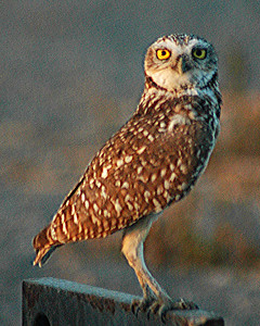 d 010051 8x10  300  Burrowing Owl