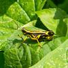 Grasshopper,