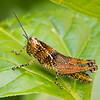 Grasshopper, ?,