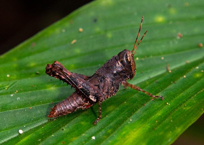 Grasshopper, Spur-throated, ?,
