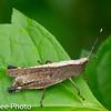 Orthroptera