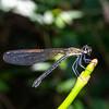Stream Sapphire, Female, Rhinocypha perforata perforata, Locally common,