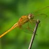 Odonata