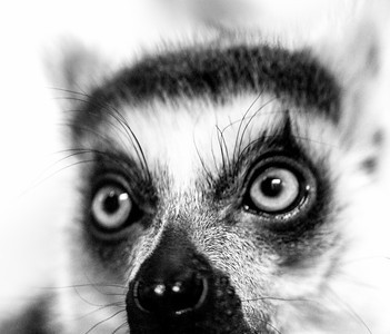 LEMUR ANIMAL