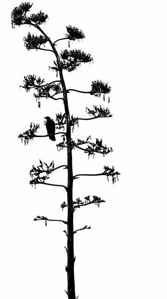 Santa Barbara CROW IN TREE 2
