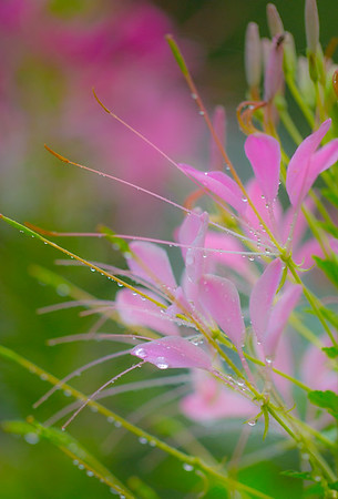 JUNE CLEOME 7