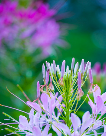 JUNE CLEOME 5