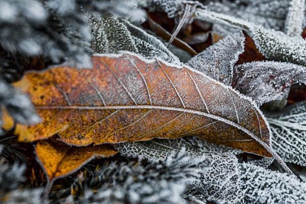 LAST FROST 9