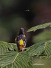 This Male Baltimore Oriole is watching a May Fly, thinking about lunch I guess. Most people I know think you must have eye contact with a bird for it to tell a story when photographing,but I think this tells a story without the eye contact.