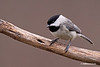 BLACK CAPPED CHICKADE