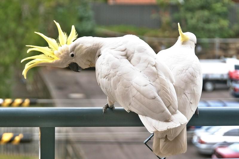 Photo Series -Two amorous Australian Sulphur Crested Cockatoos flirting close-up.