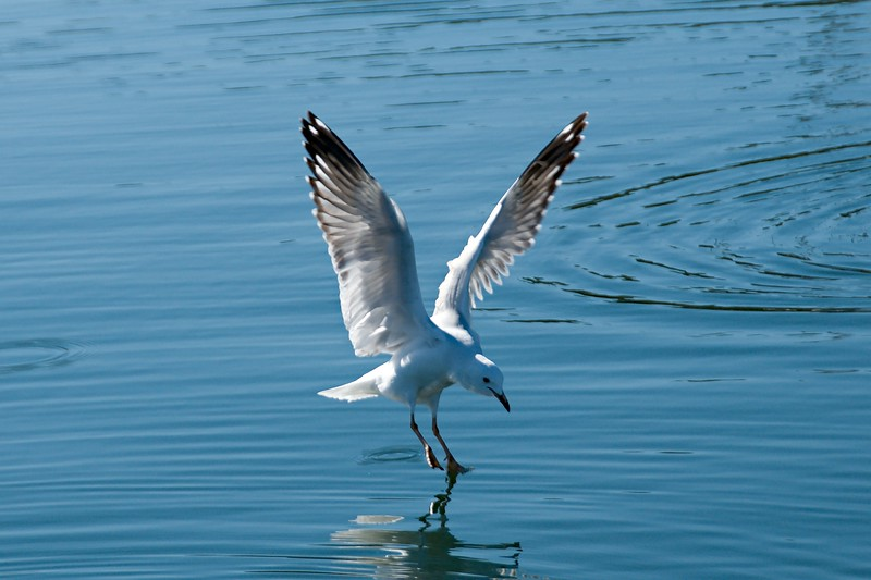 Seagull Landing with Water Reflections.
