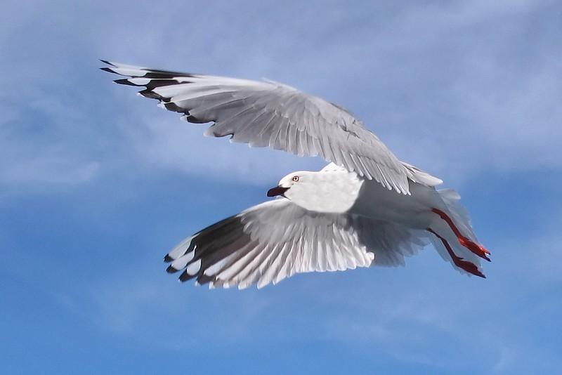 Silver Gull in Full Flight in  Blue Sky.  Exclusive Original stock Photo Art