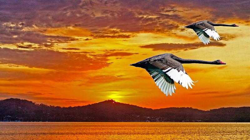 Black Swans flying at Dawn.