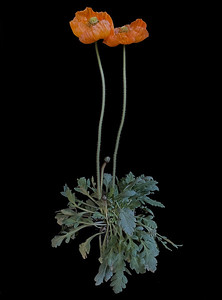 BF: Two Orange Poppies