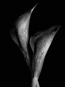 Two Black and White Calla Lillies No.1