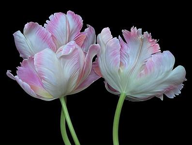 BF: Pink & Yellow Tulip