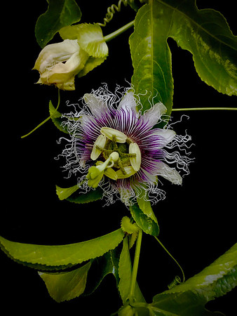 BF: Passion Fruit Flower No. 2