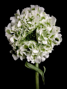 BF: White & Green Anemone