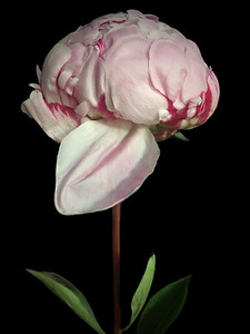 Pink and Red Peony No. 1