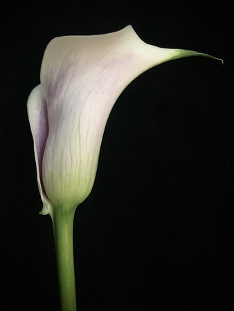 Purple and White Calla Lilly No. 1