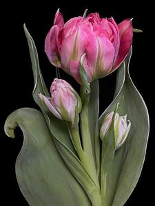 BF: Three Pink Tulips