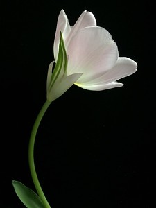 Pink Tulip No. 2