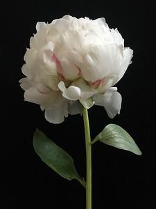 White Peony No. 2