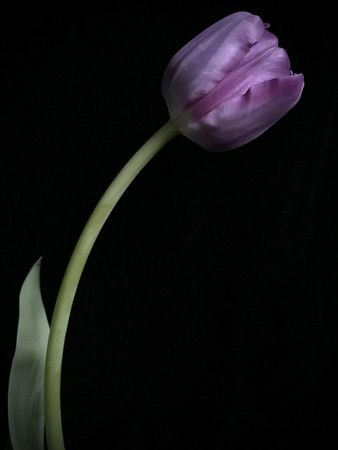 Single Purple Tulip
