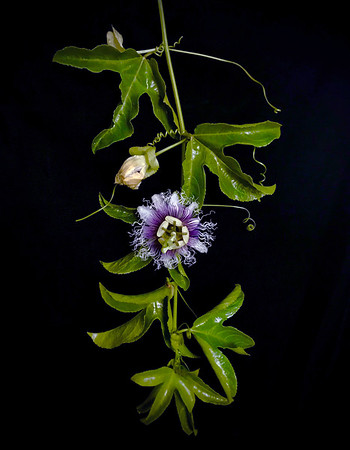 BF: Passion Fruit Flower No.1