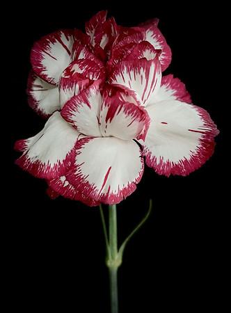 BF: Red & White Carnation