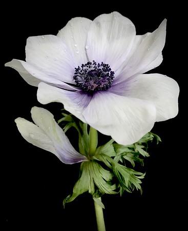 BF: White & Purple Anemone