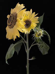 Sunflower in 4 stages