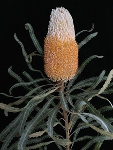 Banksia No. 1