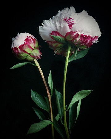 Two Red and White Peonies No. 2