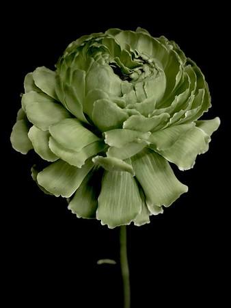 BF: Green Anemone