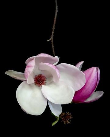 BF: Saucer Magnolia No. 1