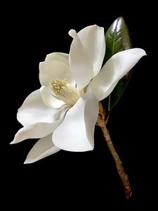 BF: Magnolia No. 2