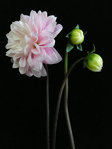 BF: Pink Dahlia with two buds