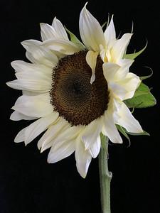 BF: White Sunflower