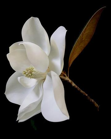 BF: Magnolia No. 1