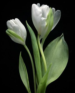 Two White Tulips