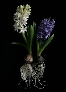 Two Hyacinths with Roots No. 1