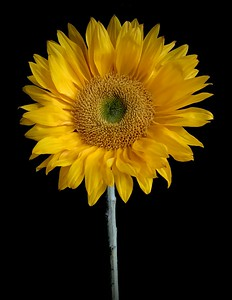 BF: Sunflower No. 2