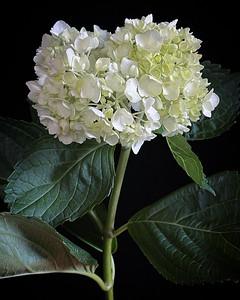 BF: White Hydrangea No. 1
