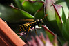 A wasp, exploring flowers: spring is closer!