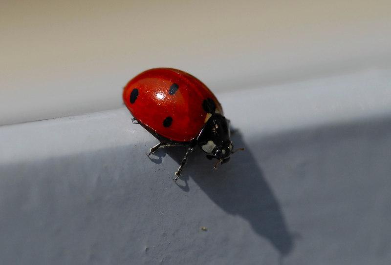 A little ladybird exploring my terrace