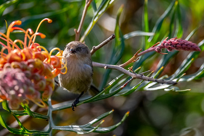 Bushtit and Grevillea