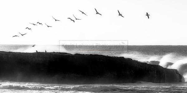 Pelicans at the Coast