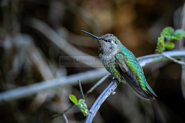 Hummingbird in Green